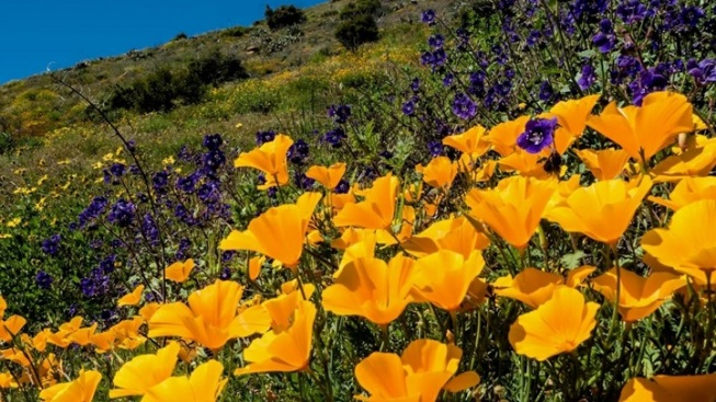 Oxnard Awesome: Strong Wildflower Scene