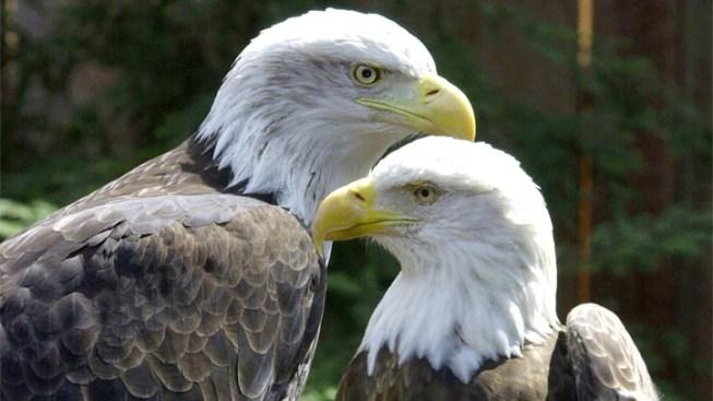 Three Santa Catalina Island Eagle Chicks Get Their Wing-Bling