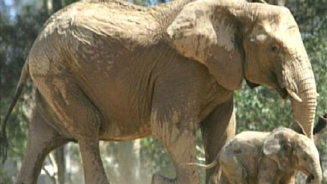 Elephant Death Causes Concern for Mammals in Zoos