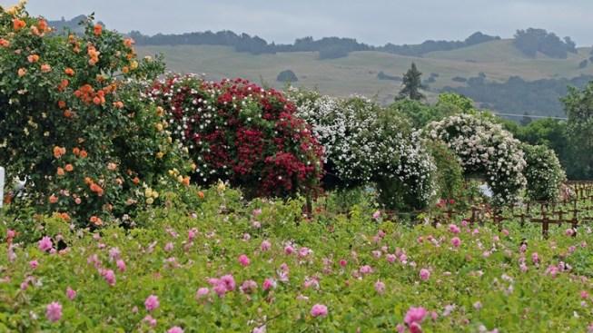 Healdsburg Ambrosial: Rose Garden Time