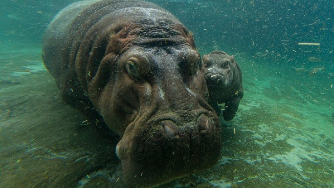 And the San Diego Zoo Baby Hippo Is...