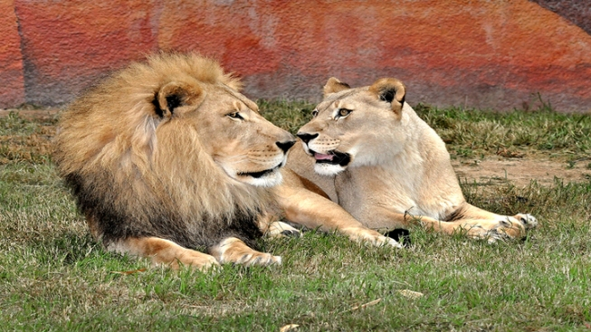 Two African Lions Make Their LA Zoo Debut