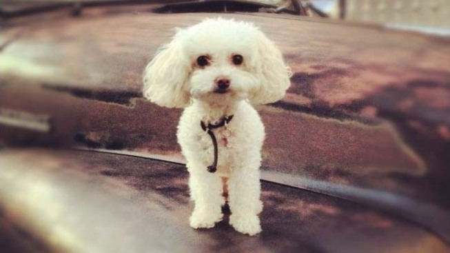 "Family ""Heartbroken"" Over Toy Poodle Missing After Burglary"