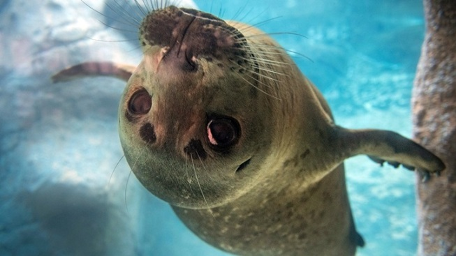 LA Zoo Welcomes Young Pacific Harbor Seal