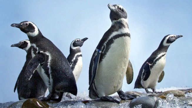 Aquarium Preps First-Ever Penguin Exhibit