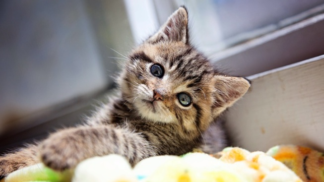 micro kitten