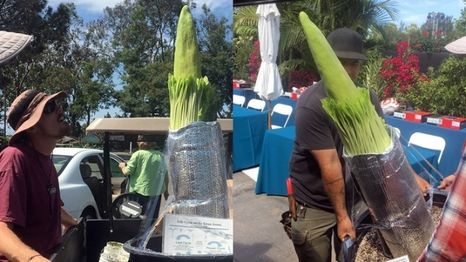 Corpse Flower: Smelly Encinitas Bloom Ahead