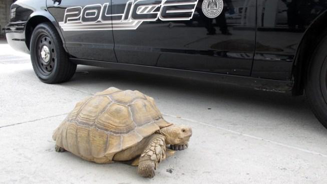 Wandering Tortoise Taken in by Alhambra Police