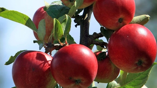 2016 Palomar Apple Festival