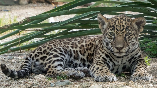 Living Desert: Baby Jaguar Shower Donation