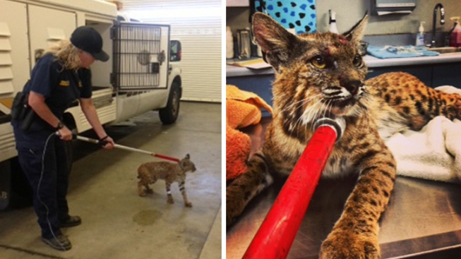 Bobcat Treated for Injuries After Being Found Under Car