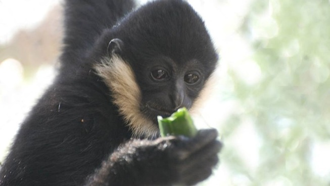 Furry Fundraiser: Breakfast with the Gibbons