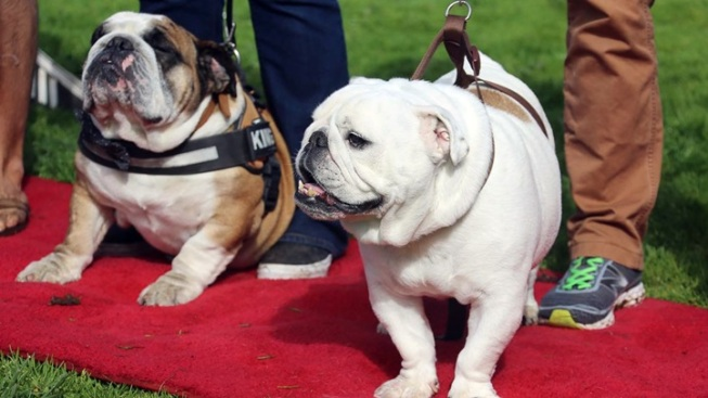 Bulldog Beauty Contest: Enter Now