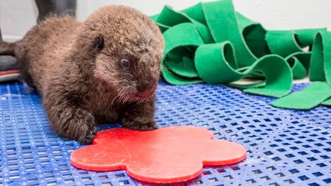 Sweet: California-to-Chicago Otter Gets a Name