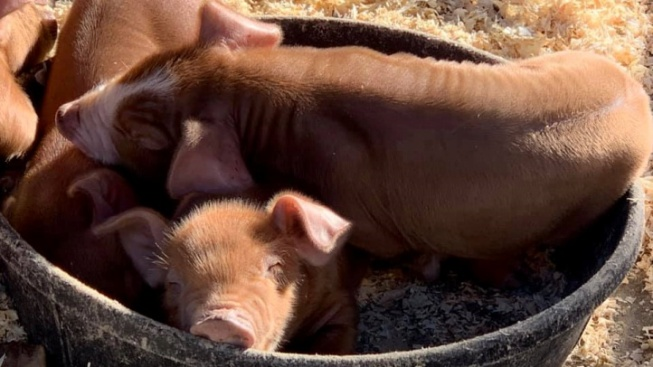 Squeal Over Centennial Farm's Christmas Eve Piglets