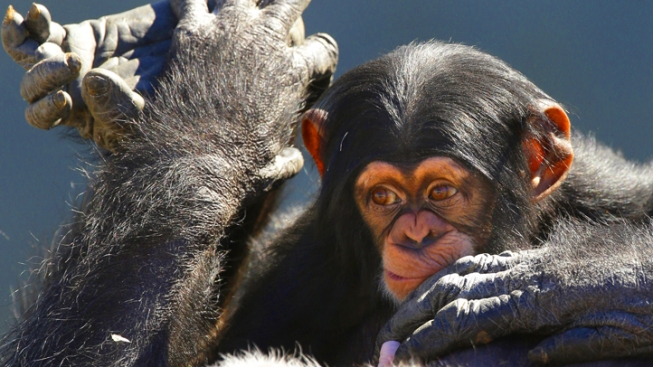 After Years Of Testing, Texas Chimps May Retire