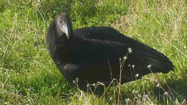 Name Picked: Big Sur's Mystery Condor