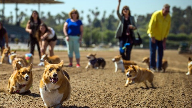 Corgi Nationals to Trot at Santa Anita Park