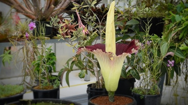 Take a Whiff: Long Beach Corpse Flower Blooms