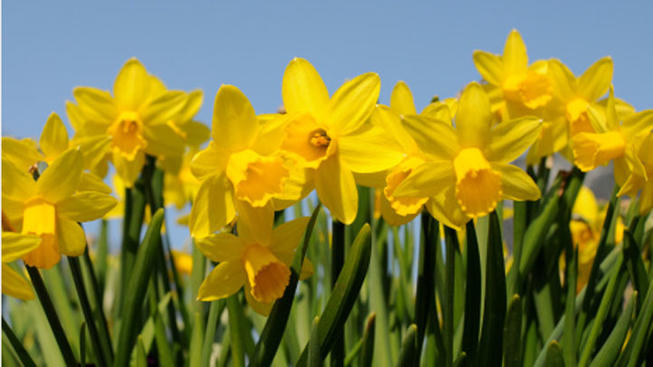 Daffodil Hill's Opening Date Soon to Bloom