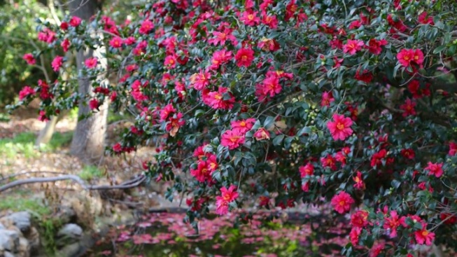 It's Camellia Go-Time, at Descanso Gardens