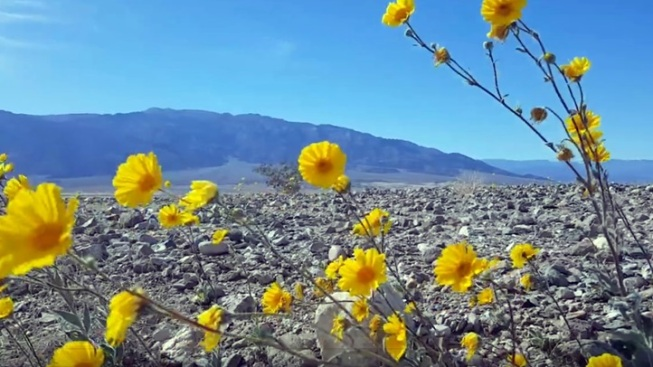Showy Bloom: There's Gold in the Desert