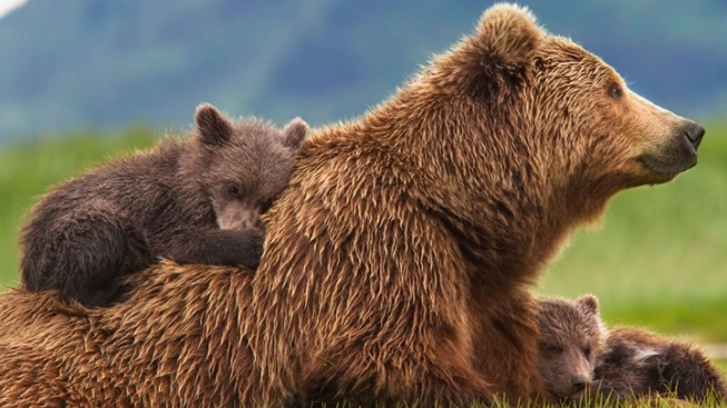 Beautiful Roar: Disneynature's Bears