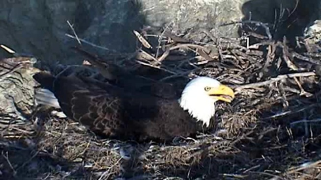 Nest Cams: Eagles, Eggs on Channel Island Cameras