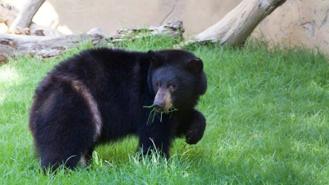 Elinor the Rescue Bear to Make OC Zoo Debut