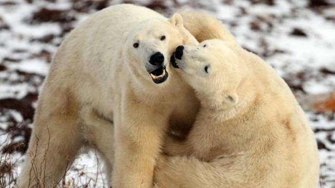 From Museum to TV Screen: Arctic Polar Bears