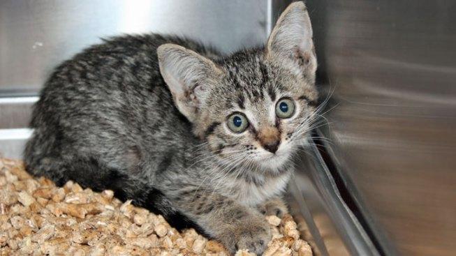 Kitten Survives Pit Bull Attack, Hides in Minivan Bumper