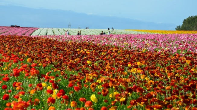 Flower Fields: 'An Early Bloom'