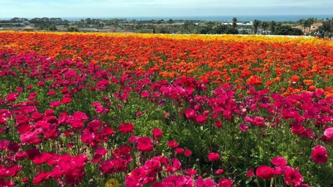 Ranunculus Now: Flower Fields Abloom