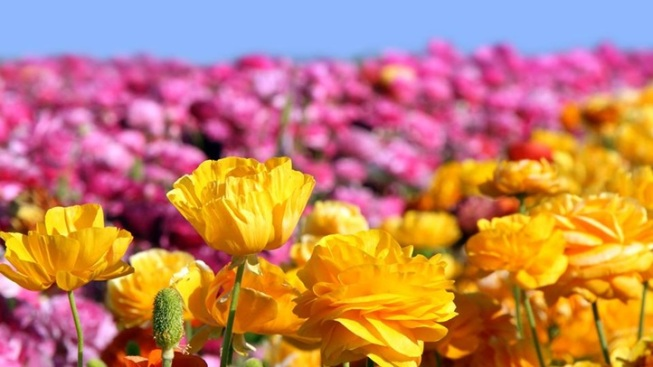 Blooming Soon: The Flower Fields
