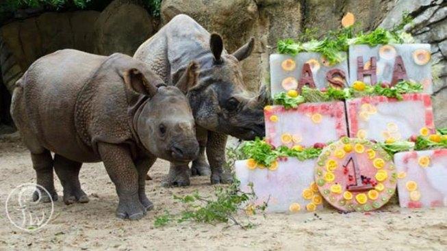 Fort Worth Baby Rhino Celebrates First Birthday