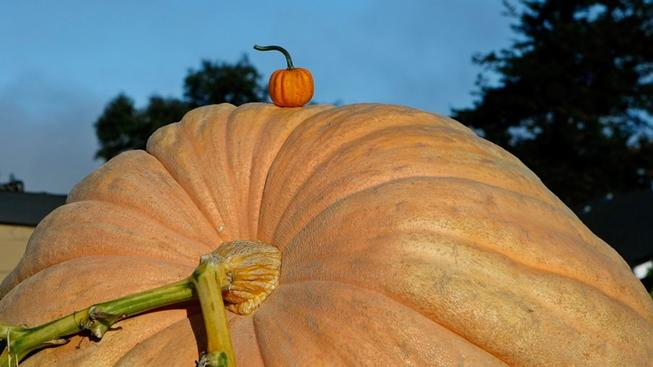 Giant Pumpkins to Scale Up at a Mega Weigh-Off