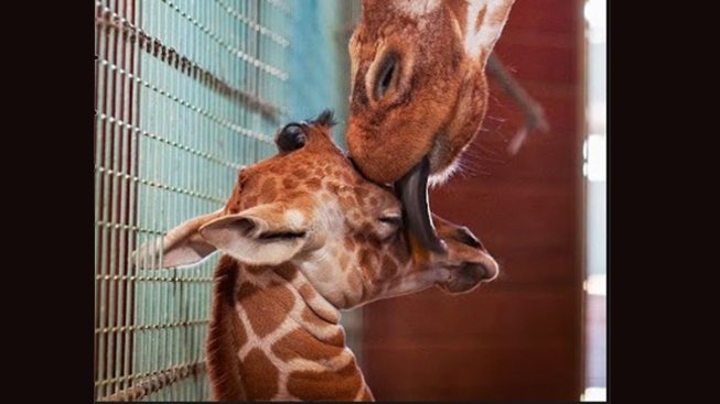 San Francisco Zoo Welcomes Newest Member: A Baby Giraffe