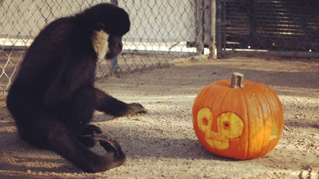 Happy Thanks-Gibbon