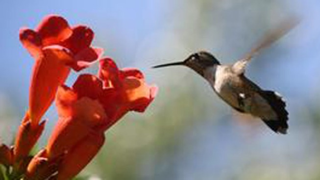 Hummingbird Festival in Santa Cruz
