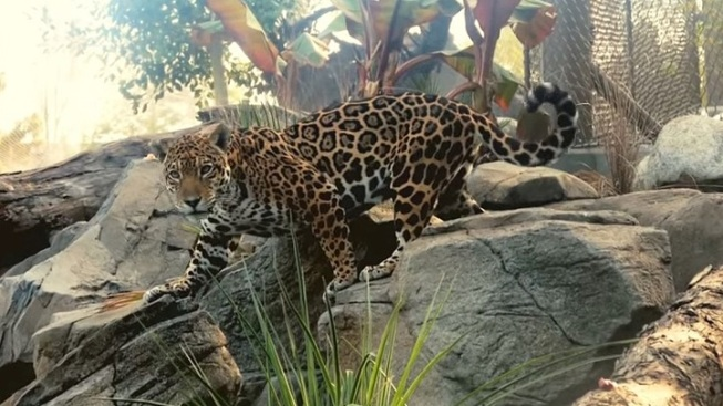 LA Zoo: New Digs for the Jaguars
