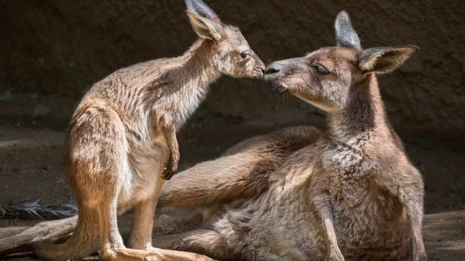LA Zoo Baby Kangaroo: And the Name Is...