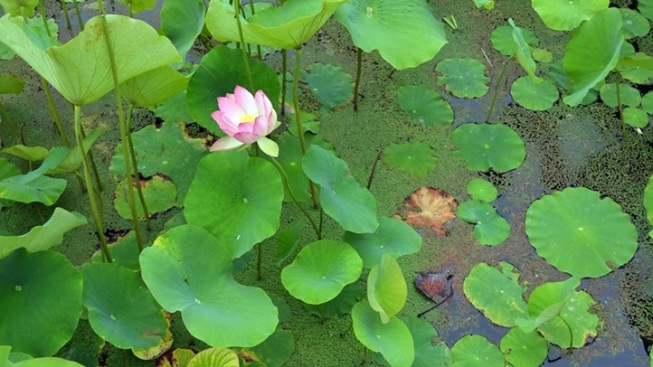 Lotus Festival at Echo Park Lake