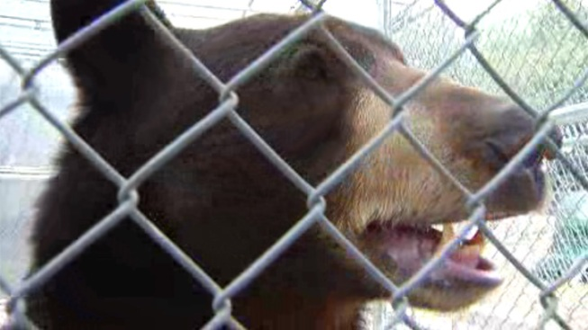 """Meatball"" the Bear Might Stay in San Diego"