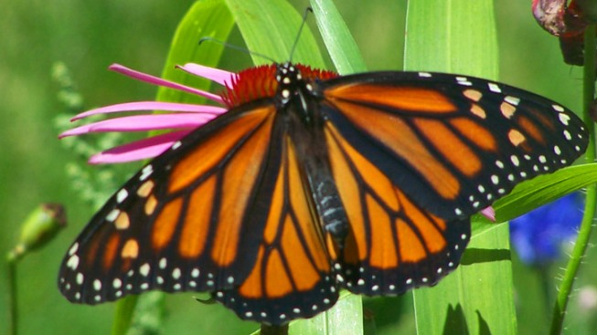 Western Monarch Day in Pismo Beach