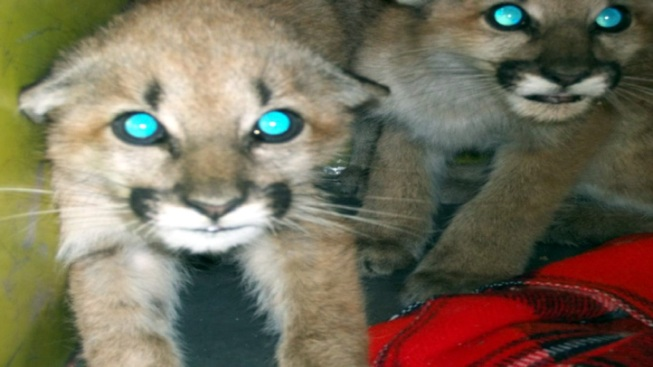 Mountain Lion Cubs Rescued in Burbank