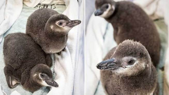 Penguin Chicks Star in Behind-the-Scene Show at Long Beach Aquarium