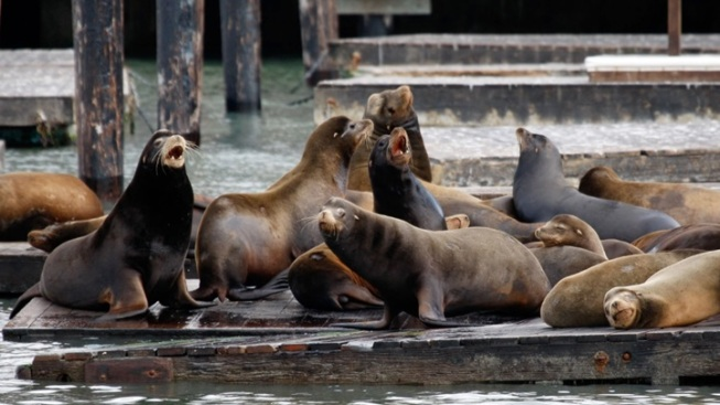Sweet Sea Lions: A Pier 39 Anniversary