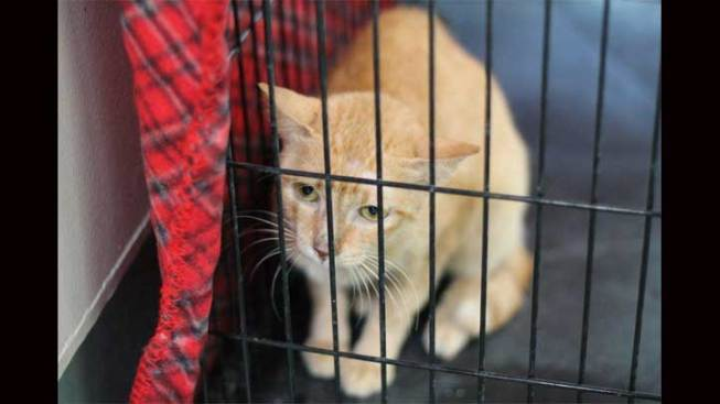 Stowaway Cat from the Philippines Needs Forever Home in SoCal