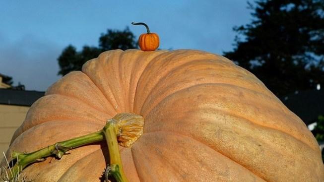 Giant Pumpkins on the Horizon