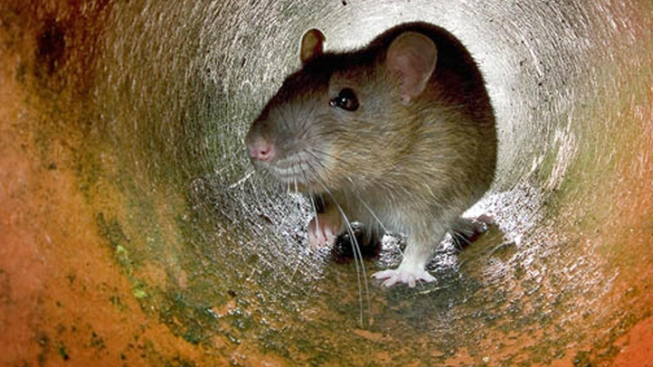 Statewide Ban on Rat Poison Approved to Protect Wildlife